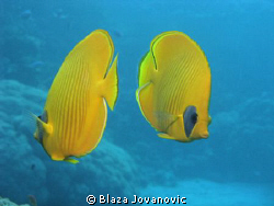 Yellow dance - masked butterfly fishes during a dive at S... by Blaza Jovanovic 